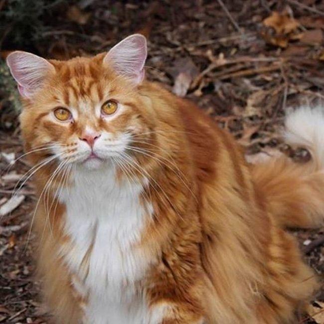 120-сантиметровый кот породы мейн-кун может попасть в «Книгу рекордов Гиннеса» (10 фото)