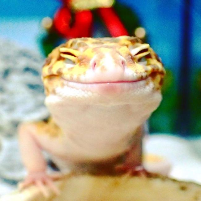 Милота дня: улыбающийся геккон (9 фото)