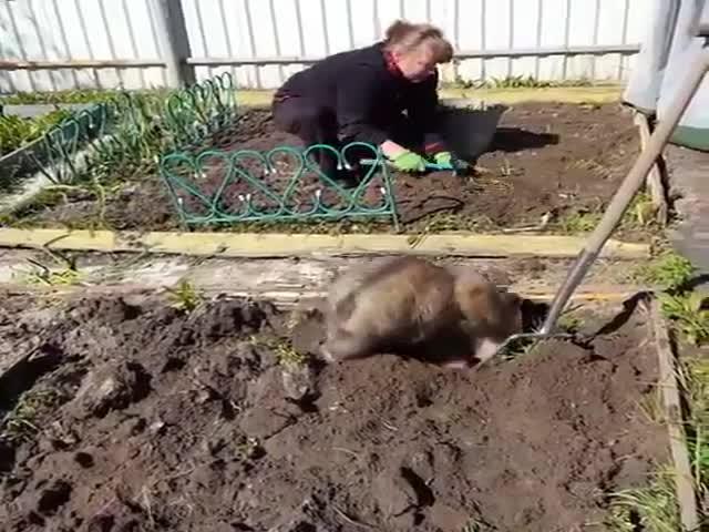 Медвежонок помогает садить картошку