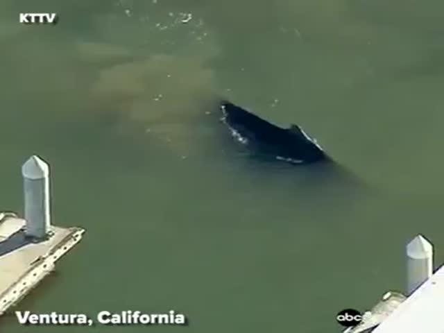 Заблудившийся горбатый кит в калифорнийской гавани