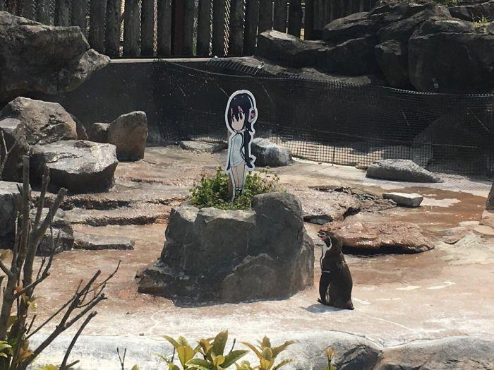 Пингвина Гумбольдта заинтересовала девочка-пингвин Хулулу из аниме (5 фото)