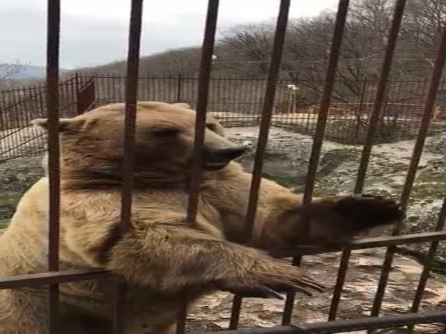Стесняющийся медведь