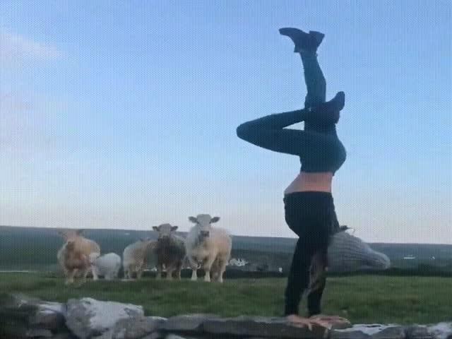 Коровы выступили в роли «жюри»