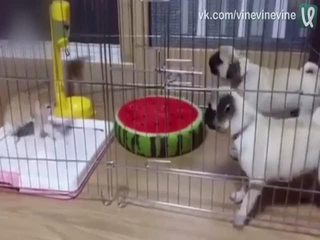 Щенки боятся котенка