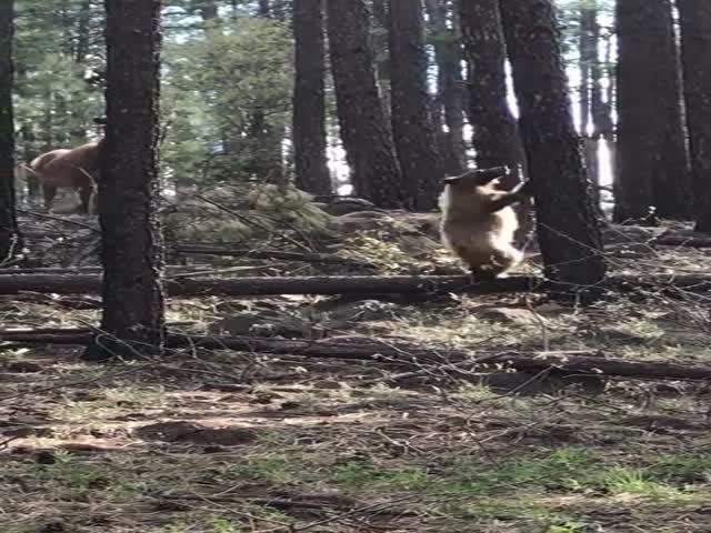 Драматическое противостояние лосихи и медведя