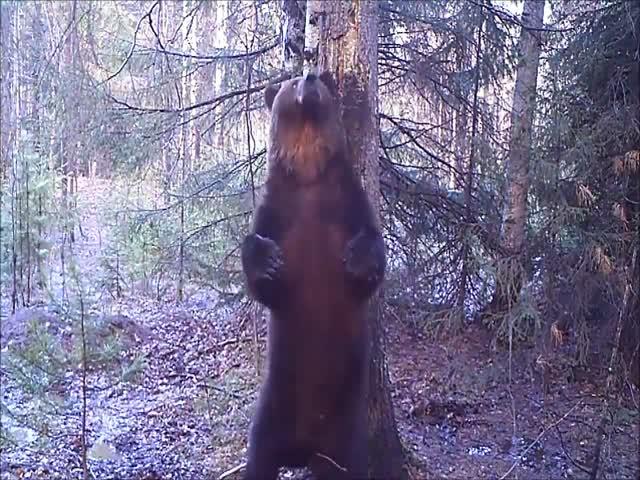 Танцующий медведь из Висимского заповедника