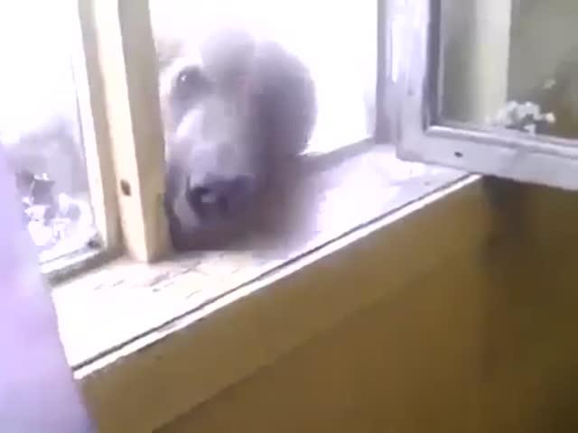 Медведь лезет в окно