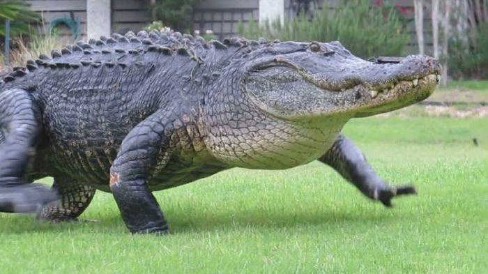 Аллигатор вышел на поле для гольфа (4 фото)