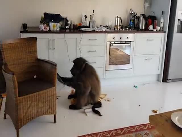 Павианы разгромили квартиру