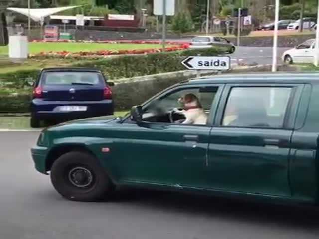 Хозяин учит собаку водить автомобиль