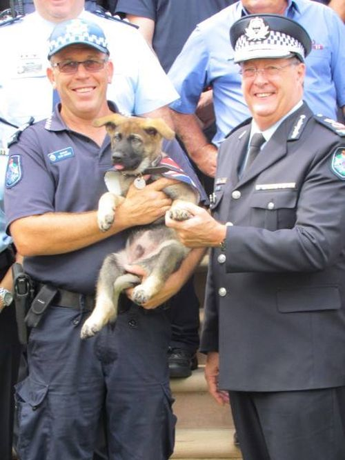 В Австралии слишком дружелюбную собаку исключили из полицейской академии (14 фото)