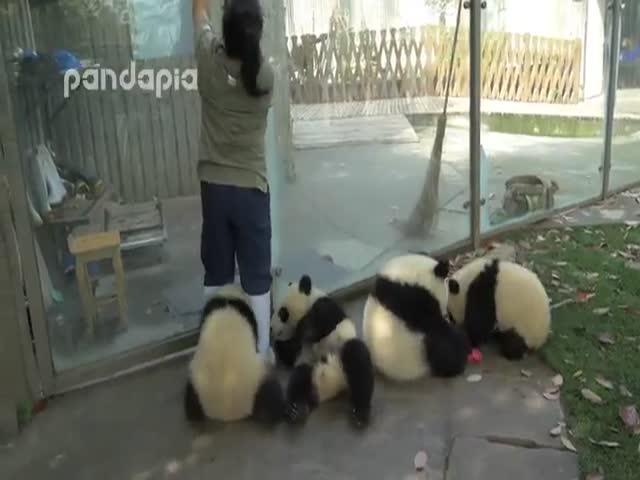 Маленькие панды безобразничают