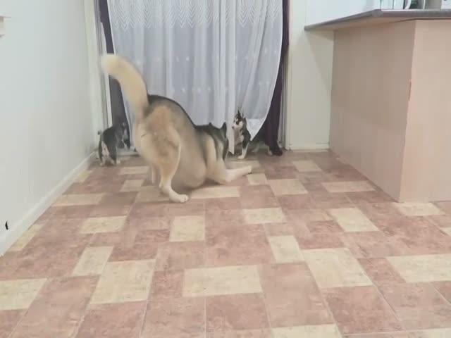 Первое знакомство щенков со своим отцом