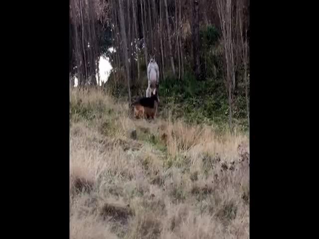 Драка собаки и кенгуру