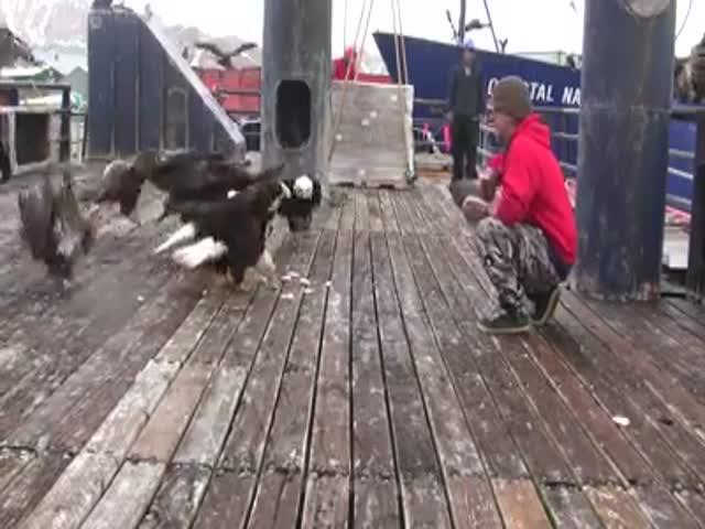 Моряк подкармливает белоголовых орланов
