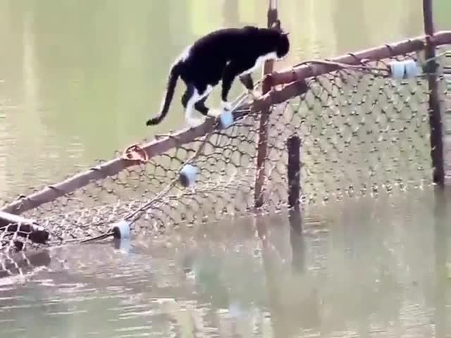 Кот, которого не страшат водные препятствия