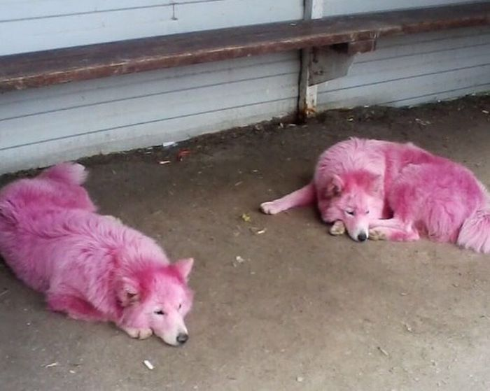 Под Геленджиком спасли розовых собак уличных фотографов (4 фото)