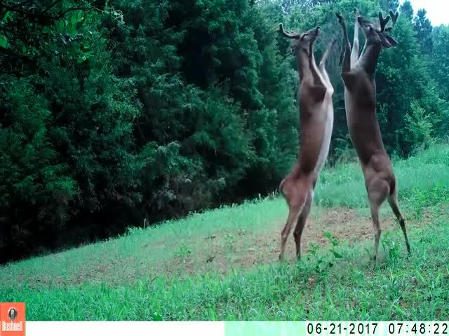 Драка оленей под забавную озвучку