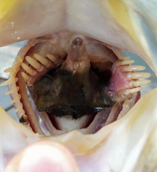 Рыбак обнаружил шокирующую находку внутри сома (3 фото)