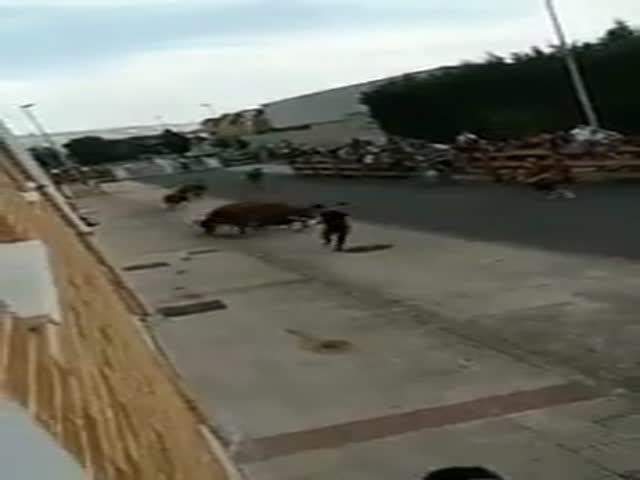 Ловкий парень дважды перехитрил быков