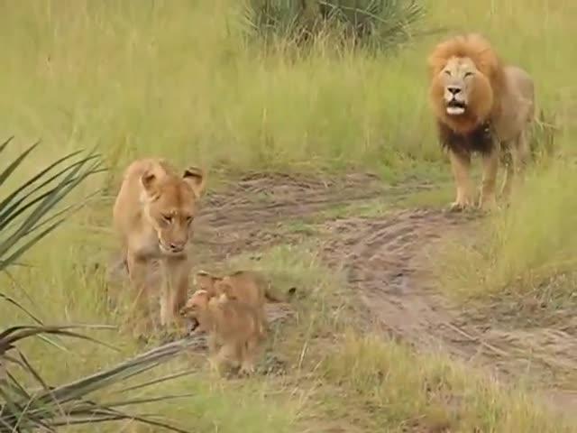 Львята учатся рычать