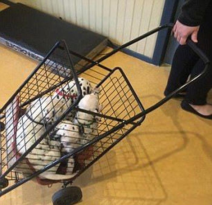 В Австралии далматин повторил мировой рекорд по количеству рожденных щенков (16 фото)