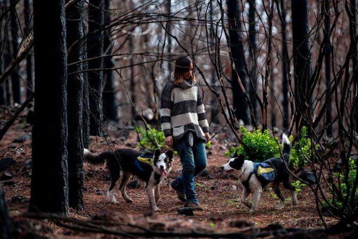 Четвероногие «озеленители» Чили (9 фото)
