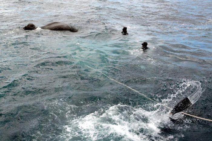 На Шри-Ланки спасли слона, унесенного в открытое море (5 фото + видео)