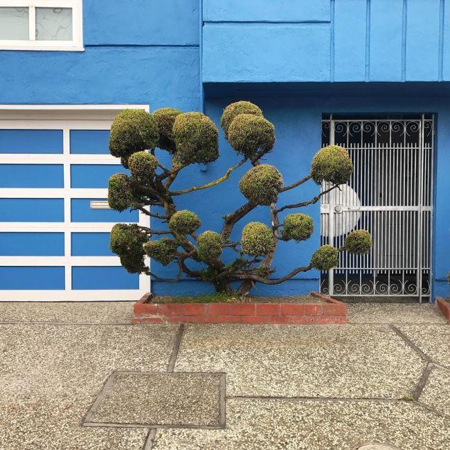 Необычные деревья в Сан-Франциско (8 фото)