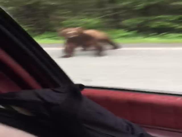 Медведь попытался атаковать машину