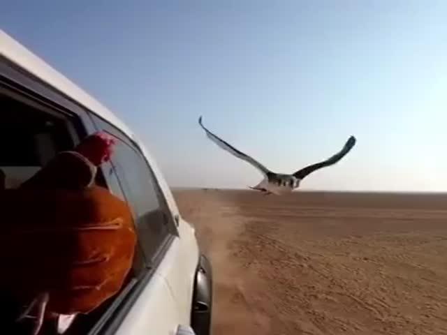 Необычная посадка сокола