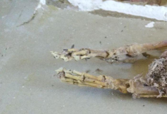 В стене дома нашли останки неизвестного существа (фото)