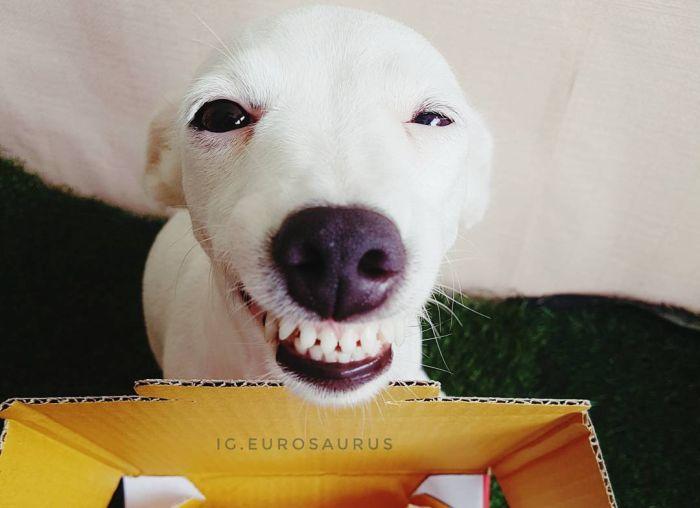 «Улыбчивый» джек-рассел-терьер по кличке Евро (6 фото)