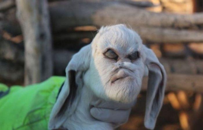 В Аргентине родился козленок-мутант с «человеческим лицом» (4 фото)