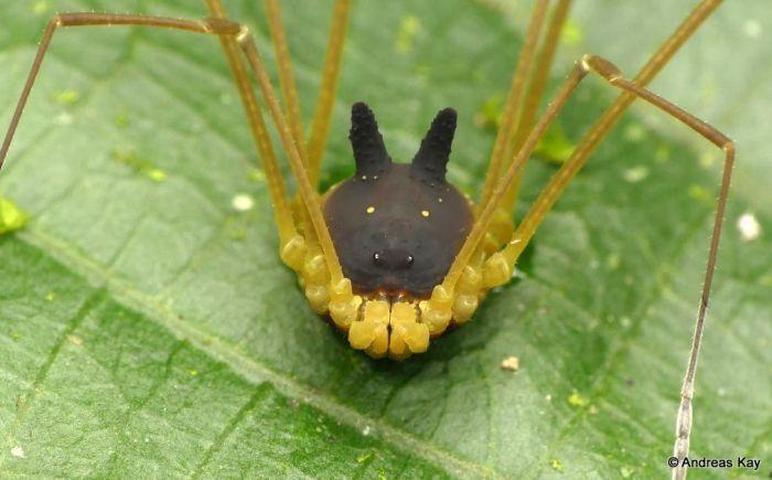 Милый паук кролик-сенокосец (4 фото)