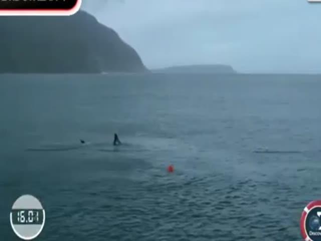 Майкл Фелпс посоревновался с белой акулой в заплыве на 100 метров