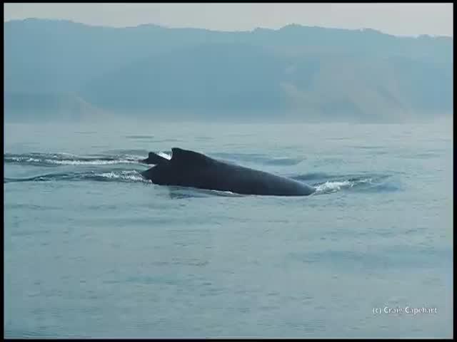 Невероятный прыжок горбатого кита