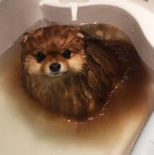 Когда купают померанского шпица (4 фото)
