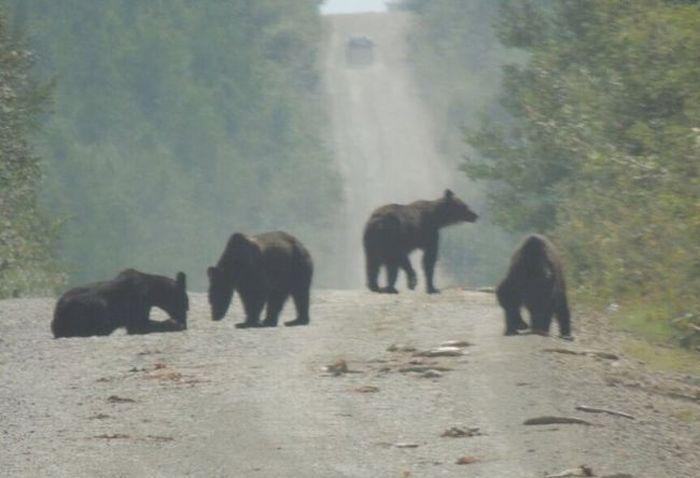 В Хабаровском крае медведи съели рыбу, высыпавшуюся из грузовика (2 фото)