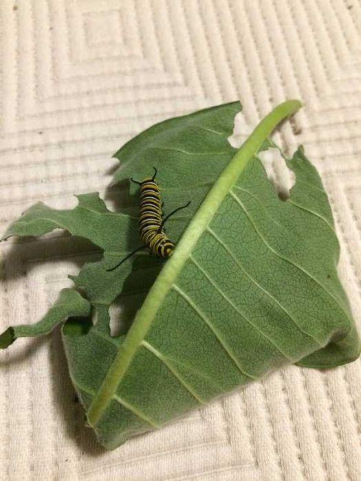 Жизненный цикл бабочки монарха (21 фото)