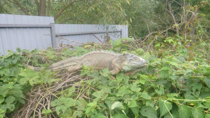 В Киевской области поймали сбежавшую игуану (5 фото)