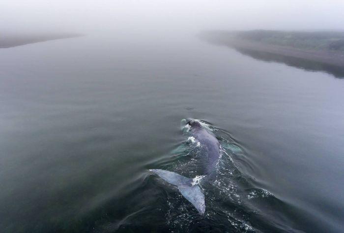 В Хабаровском крае детеныш гренландского кита сел на мель (11 фото)