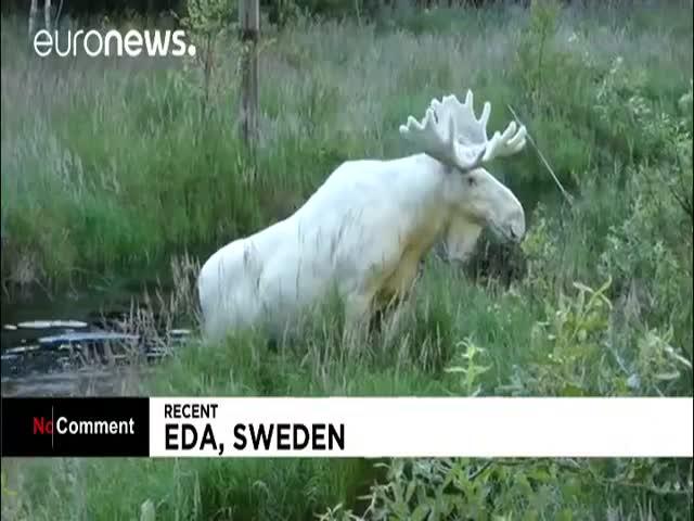 В Швеции заметили редкого белого лося