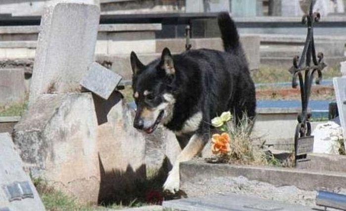 Собака 11 лет живет на могиле хозяина (4 фото)