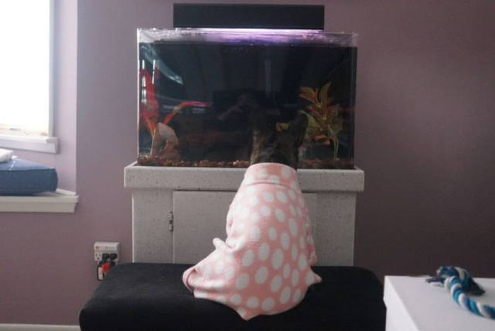Французский бульдог и аквариум (5 фото)