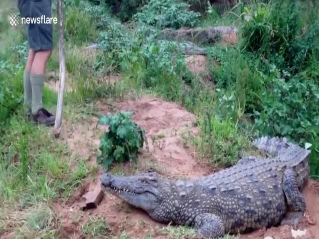 Крокодил атаковал мужчину