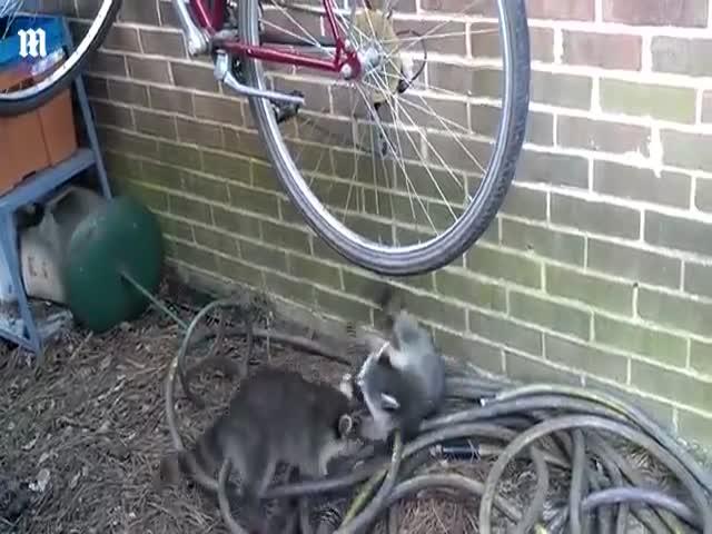 Драка енотов за право кататься на велосипедном колесе