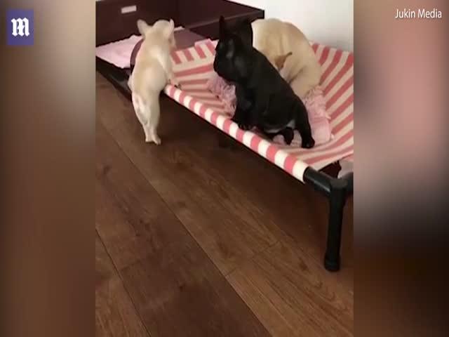 Милый щенок не может забраться на кровать