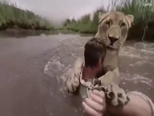 Львица бросается к мужчине