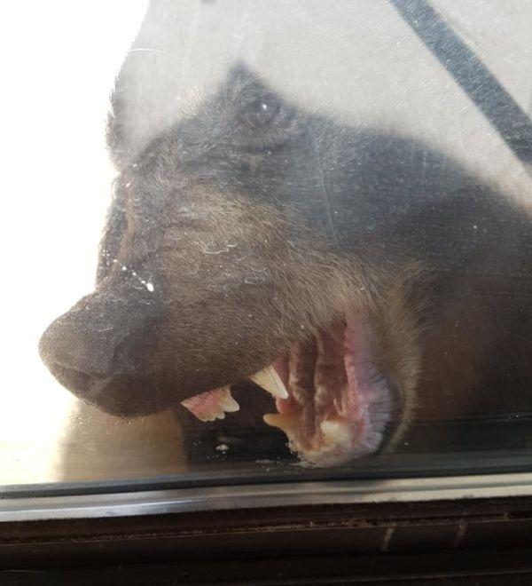 Черный медведь пришел в дом жителей Канады (3 фото)
